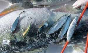 Ловля судака зимой на тюльку: выбираем снасть