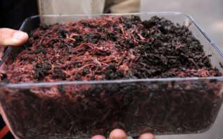 Разведение червей в домашних условиях для начинающих