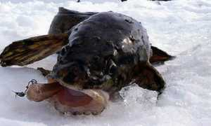 Cтукалка на налима: эффективная снасть для зимней ловли