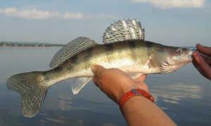 Берш и судак: в чем отличия, что это за рыба