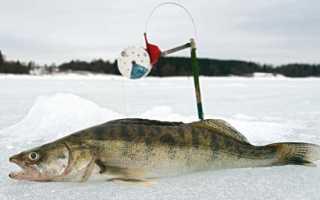Ловля судака на жерлицу зимой: на течении и в стоячих водоемах