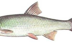 Рыба елец: сибирский и киргизский, отличия и способы ловли
