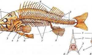Внутреннее строение костной рыбы самки окуня